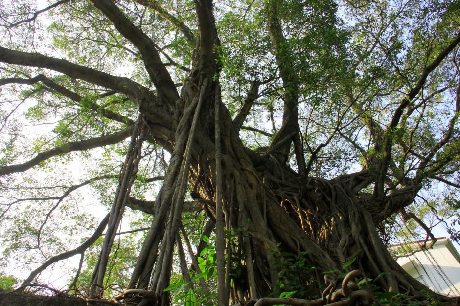 Under a fragrant banyan tree