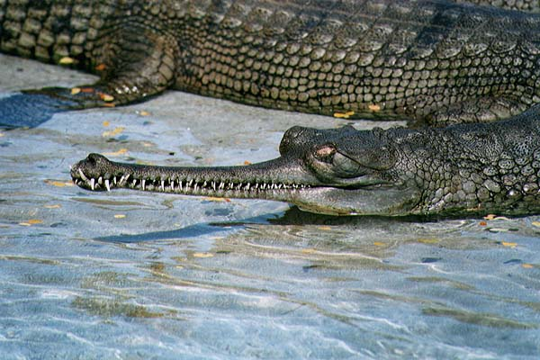 A Gharial from too close quarters