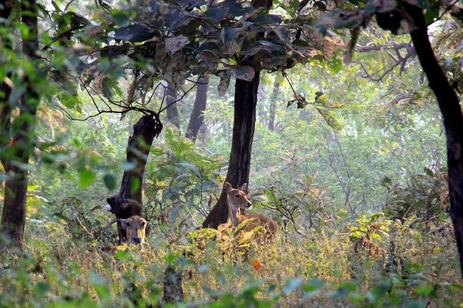 Spotted golden deer
