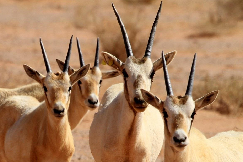 Arabian Oryx is quintessential Jordanian wildlife