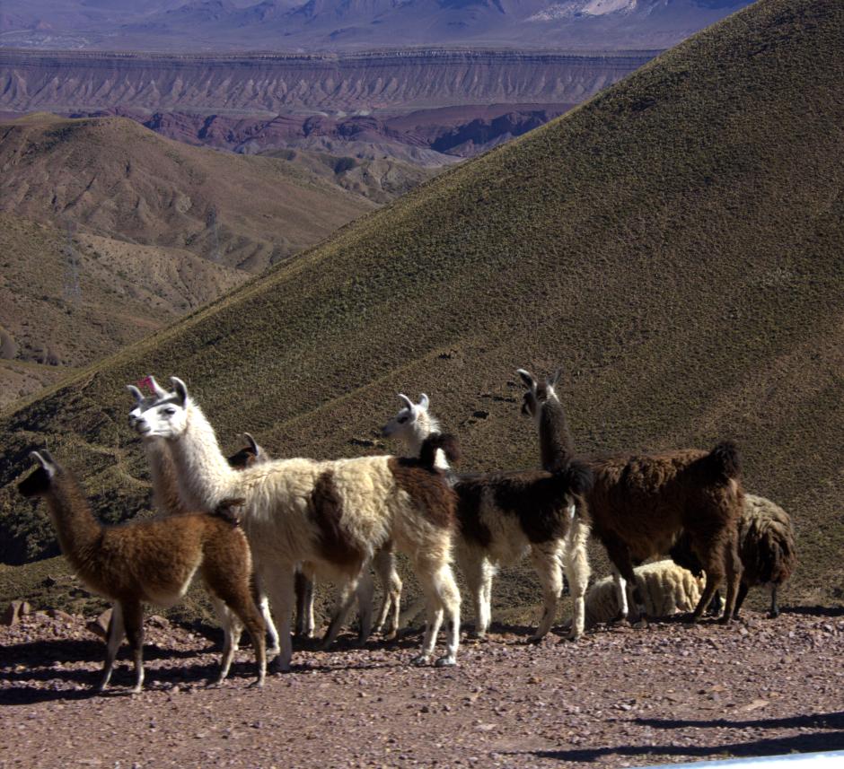 And nosy llamas