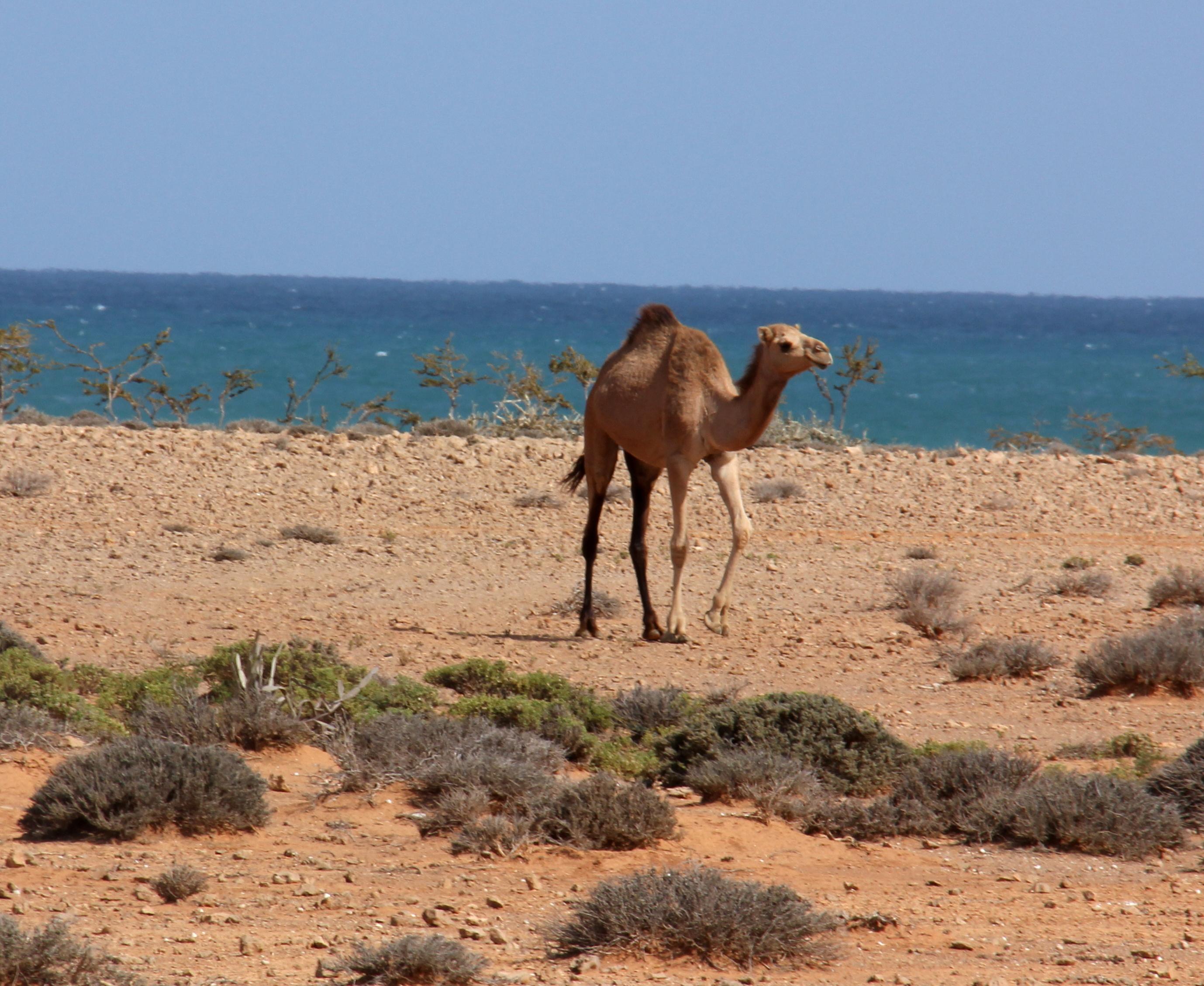 Camels of Socotra