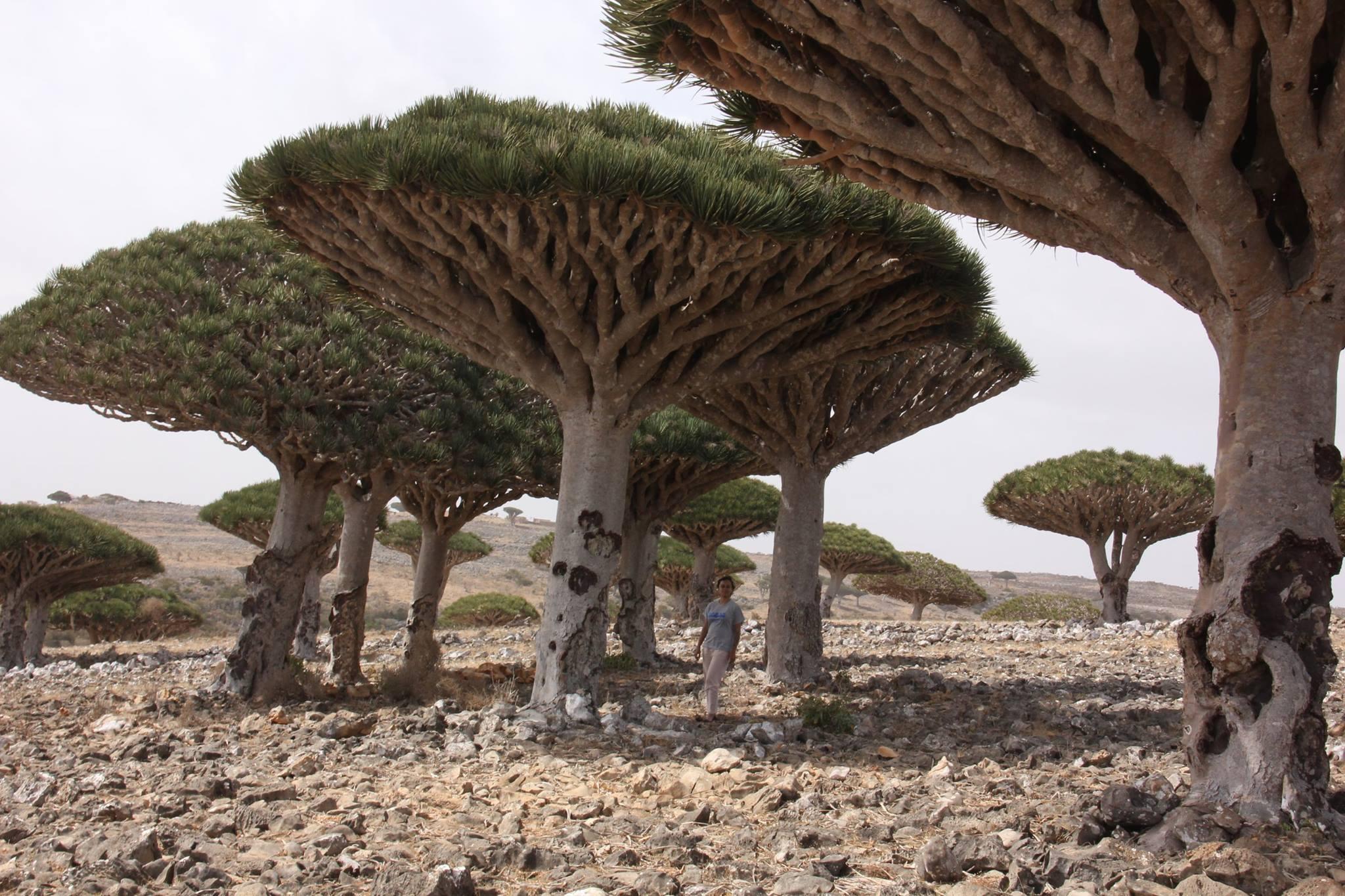 #Yemen #Yementourism #Socotraisland #Blooddragontrees
