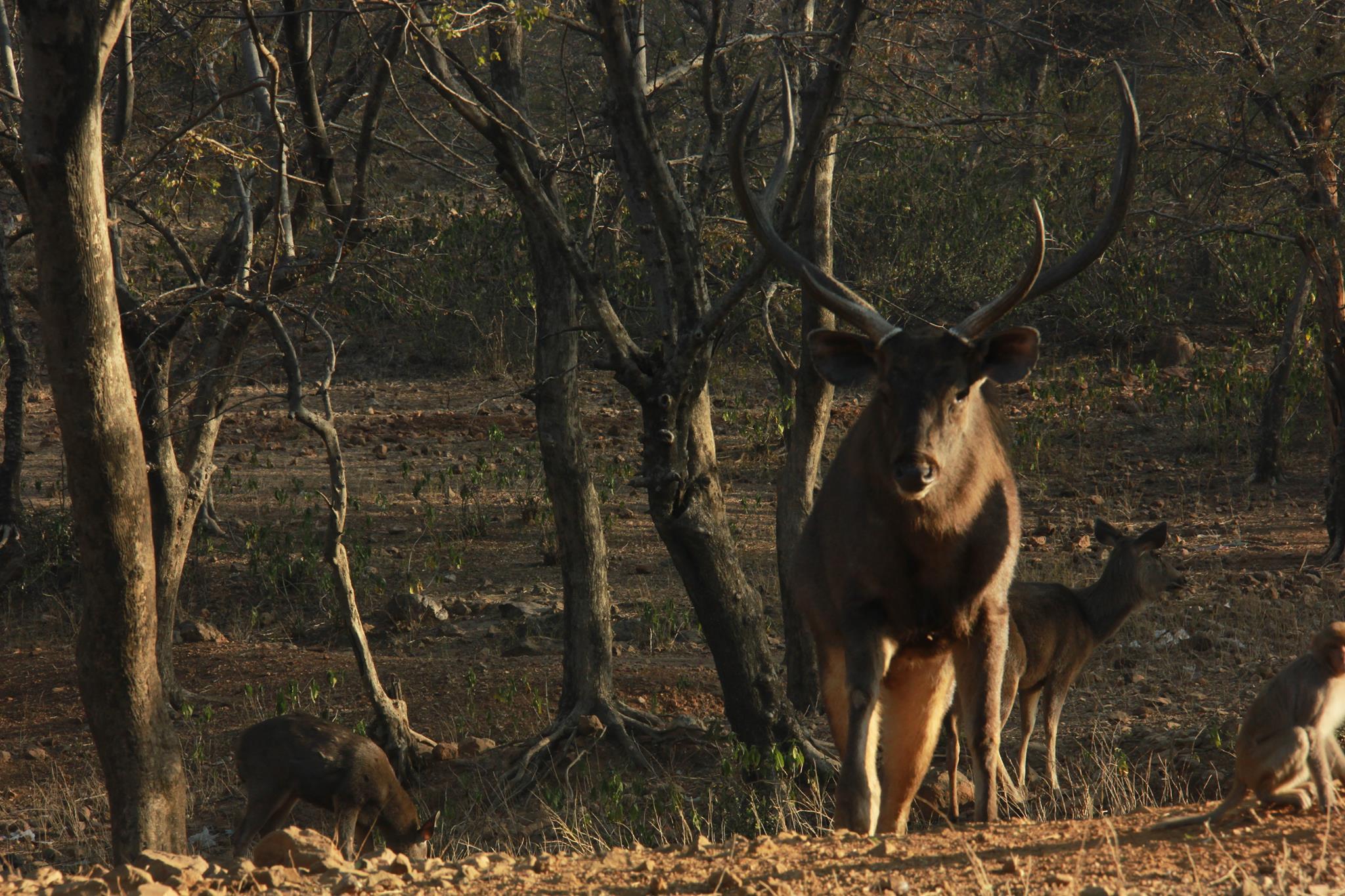 #India #Rajasthan #Siriskanationalpark